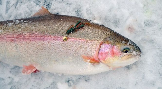 How to ice fish for trout a straight arrow for How to ice fish